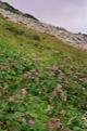 Fleurs entre Batizovsk� pleso et Sedlo pod Ostrwou.<br> (Hautes Tatras)