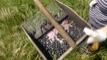 Cueillette des myrtilles