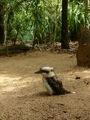 Kookaburra (OOHAHAHA !) - Australia Zoo