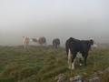 Les vaches habitu�es aux randonneurs mais pas toutes sympathiques (y