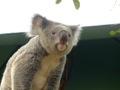 Koala - Australia Zoo