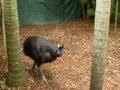 Cassowary - Australia Zoo