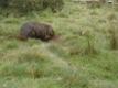 Yombat