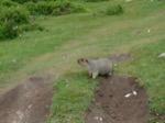 Les marmottes adorent la cuisine chinoise ... :-)